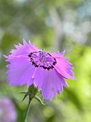 Dianthus amurensis ´Siberian Blues´ flower in Summer sunlight