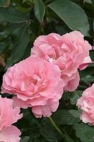ROSA ´PENTHOUSE´ ROSE. ROSE BUSH HYBRID MODERN. MAC GREDY 1985