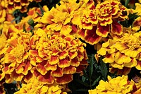 TAGETES PATULA ´DURANGO BEE´ CARNATION DIANTHUS INDIA. PLANT ANNUAL