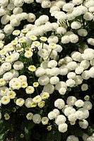 CHRYSANTHEMUM PARTHENIUM ´WHITE BALL´ SYN. TANACETUM PARTHENIUM ´WHITE BALL´ MATRICAIRE DWARF. VARIETES DOUBLES DWARFES. PLANT ANNUAL