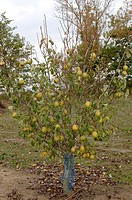 PYRUS COMMUNIS ´PASSE CRASSANE´ PEAR TREE.