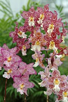 WILSONARA MIST OF VALEC. ORCHID. COLLECTION VACHEROT_LECOUFLE