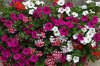 BALCONYNIERE OF PETUNIA AND PELARGONIUM