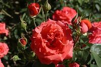 ROSA ´DEE DEE BRIDGEWATER´ ROSE.