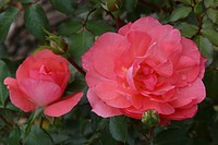 ROSA ´GARDENS OF FRANCE´ ROSE. MEIZEBUL. BREEDER : MEILLAND 1999
