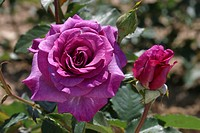 ROSA ´VIOLET SCENTED AROMATIC FRAGRANT ´ ROSE. BREEDER : DORIENT