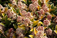 SKIMMIA JAPONICA MALE FORM