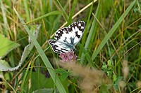 MARBLED WHITE BUTTERFLY MELANARGIA GALATHEA FEEDING ON RED CLOVER TRIFOLIUM PRATENSE