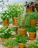 Various culinary herbs in flowerpots