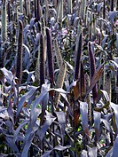 PENNISETUM AMERICANUM ´PURPLE MAJESTY´ CHINESE FOUNTAIN GRASS