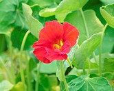 Nasturtium - Tropaeolum majus  Flower and leaves