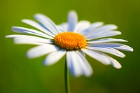 Margerite, Leucanthemum vulgare, oxeye daisy, Switzerland