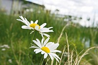 Daisies growing wild in grassy field
