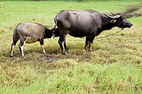 Water buffalo and calf in a rice paddy