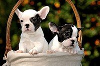 French bulldog puppies in basket