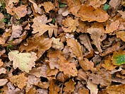 QUERCUS ROBUR AUTUMN FALLEN LEAVES