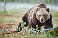 European brown bear in the Scandinavian taiga. Kainuu Region. Finland. Europe