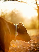 A cow against the light, Sweden.