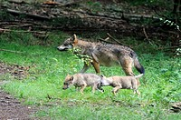 European grey wolf adult with pups aged 2 months old Canis lupus captive, Bayerischerwald National Park, Germany
