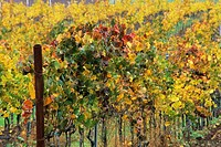 Vineyards in fall, Cambria Winery, near Santa Maria, Santa Barbara County, California