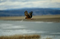 A Hen Harrier flying