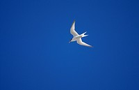 Little Tern against blue sky, Sweden.
