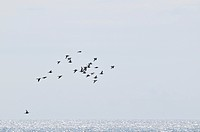 Birds flying over the sea, Sweden.
