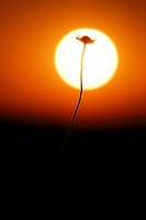 Flower against a sunset, Sweden.