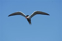 A common tern against a blue sky, Sweden.