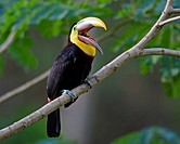 Chestnut_mandibled Toucan on a branch, Costa Rica.