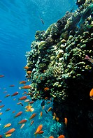 A coral reef, the Red Sea.