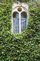 Window covered with ivy in Ireland, Europe
