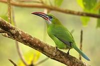Groove-billed Toucanet, Tucán Pico de frasco esmeralda, Aulacorhynchus sulcatus sulcatus, Parque Nacional Henri Pittier, Venezuela