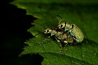 Weevils mating, Finland.