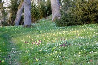 Meadow full of elder_flowered orchid, cowslips and wood anemone, Sweden.