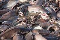 catfish in Gad sagar tank near jaisalmer in rajasthan state in india
