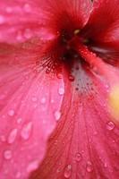 Close-up of chinese hibiscus, Hibiscus rosa sinensis