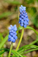 Grape hyacinth, Muscari racemosum