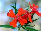 Maltese cross, Lychnis chalcedonica, flowers