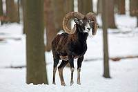 Mouflon ram Ovis gmelini musimon in forest in the snow in winter, Germany