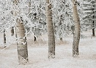 Calgary, Alberta, Canada, White Aspens In Winter