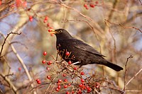 European Blackbird Turdus merula adult male, feeding on hawthorn berries, Midlands, England, winter