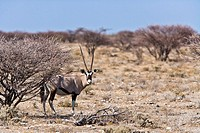 An oryx (Oryx gazella) in the Etosha National Park, Namibia, Africa