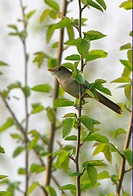Thick_billed Warbler Acrocephalus aedon stegmanni adult, perched on twig, Hebei, China, may