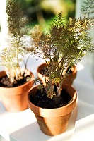 YOUNG FOENICULUM VULGARE ´PURPUREUM´ BRONZE FENNEL PLANTS IN SMALL TERRACOTTA POTS