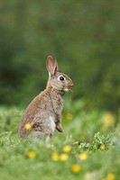 European Rabbit Oryctolagus cuniculus adult, alert, standing on hind legs in field with buttercups and thistles, Shropshire, England, june