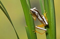 Fornasini's Spiny Reed Frog Afrixalus fornasini adult, climbing on leaves, Tanzania
