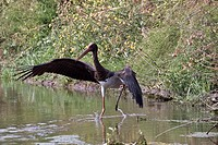 Black Stork _ Lesvos Greece