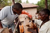 Vet tending wound in nose of Jersey cow, Rwanda