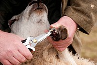 Sheep farming, farmer trimming foot of sheep using specialised cutters, Cumbria, England, march